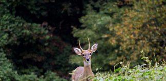 deer spike buck