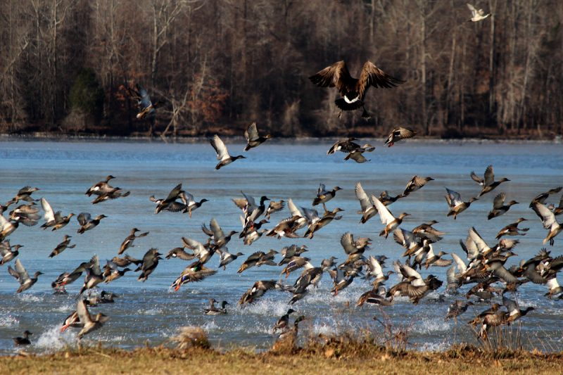 96c65412833bf The TFWC approved the 2015-16 waterfowl hunting seasons, presented the 2016- 17 state's fishing regulations proposals, announced the participants in ...