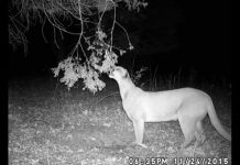 Cougar on Trail Cam