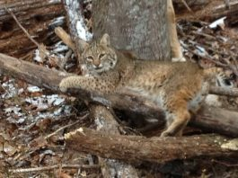 bobcat trap trapping