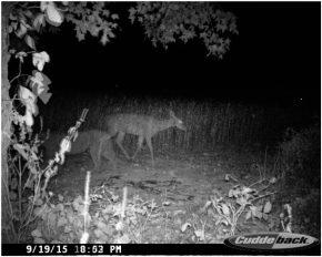 cougar deer