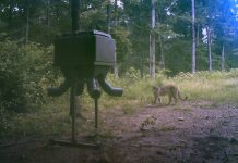 Cougar sighting