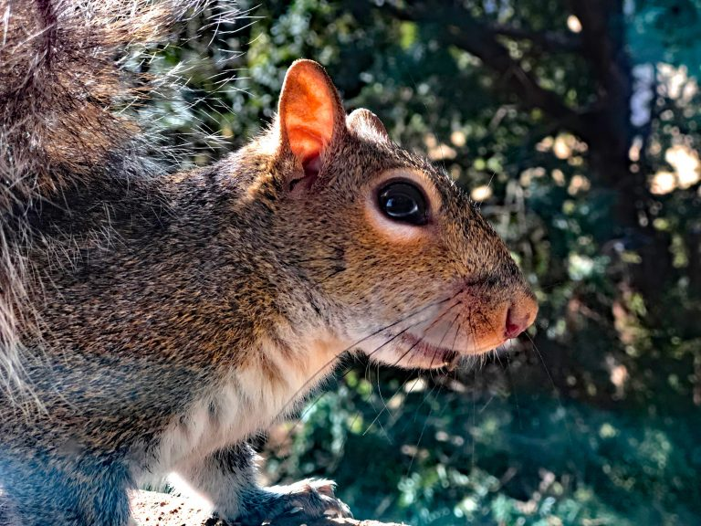 Spring Squirrel Season Opens in Tennessee