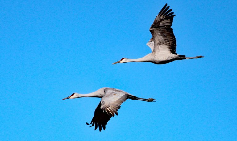 Permit drawing for sandhill crane hunt to be held August 10 at Rhea County High School